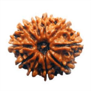 Ten Face Rudraksha